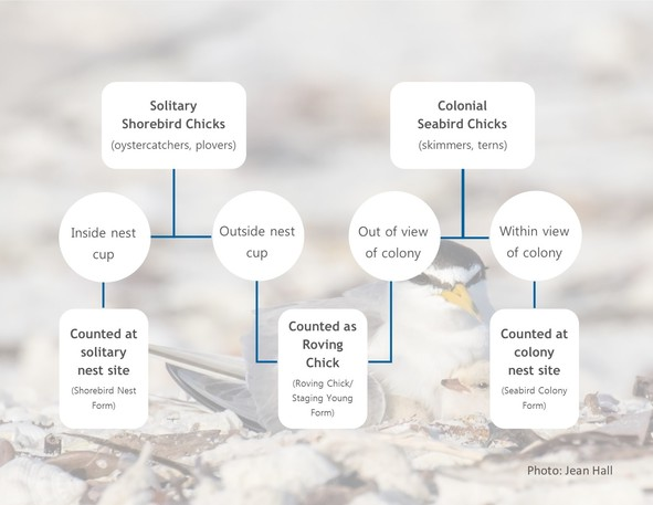 Counting chicks decision tree