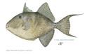 gray triggerfish by diane rome peebles
