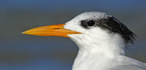royal tern by Jack Rogers