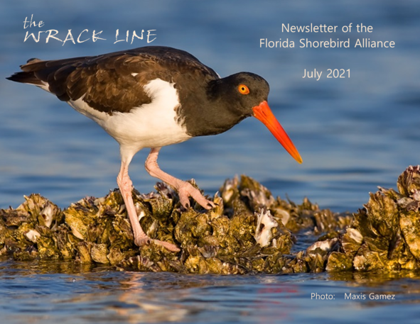 American oystercatcher on oyster rake by Maxis Gamez