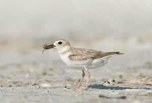Wilson's plover chick photo by Mia McPherson
