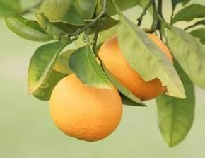 Citrus fruit on tree
