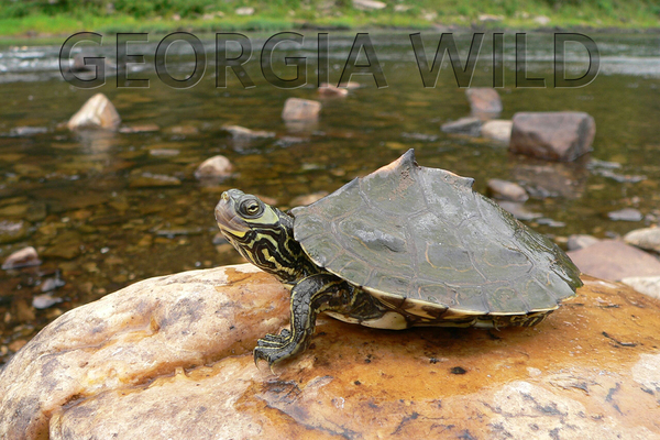 Georgia Wild masthead: Barbour's map turtle