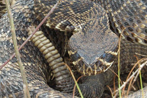Eastern diamondback rattlesnake. Dirk J. Stevenson