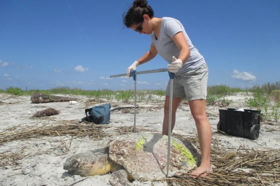 Assessing stranded loggerhead sea turtle