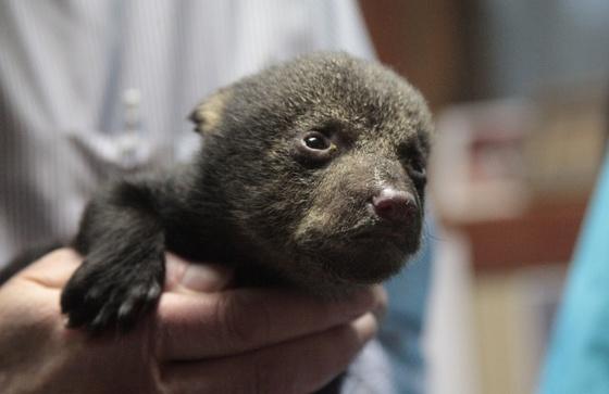 Louisiana black bear cub (USFWS)