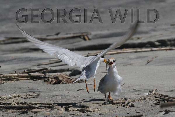 Georgia Wild masthead: least terns