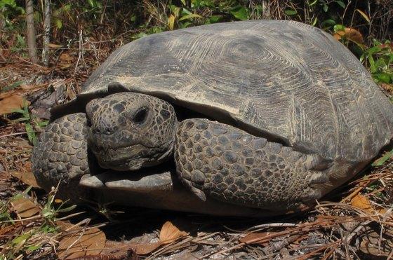 Gopher tortoise (Alan Cressler)