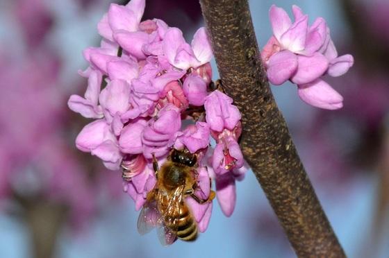 Honeybee on redbud bloom. (Terry W. Johnson)