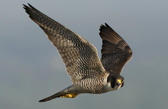 Peregrine falcon (Curtis Compton/Atlanta Journal-Constitution)