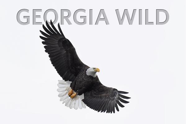 Georgia Wild masthead: eagle