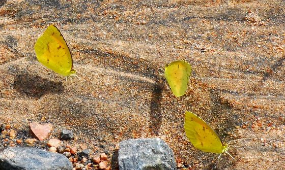 Butterfly puddle party (Terry W. Johnson)