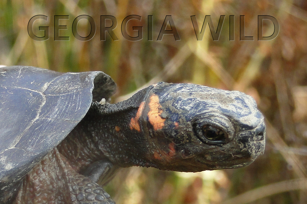 Georgia Wild masthead: bog turtle