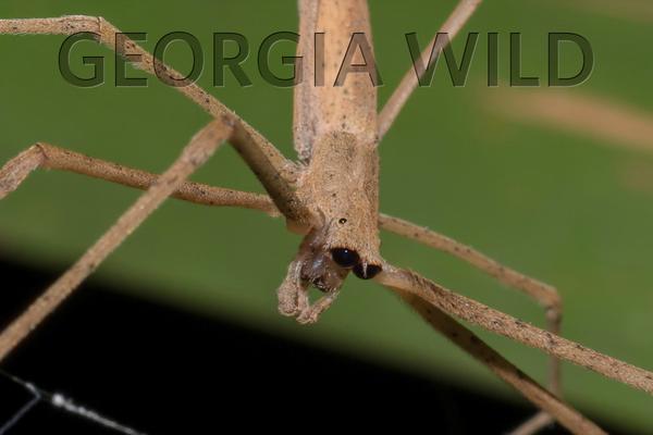 Georgia Wild masthead: ogre-faced spider (Daniel Dye)