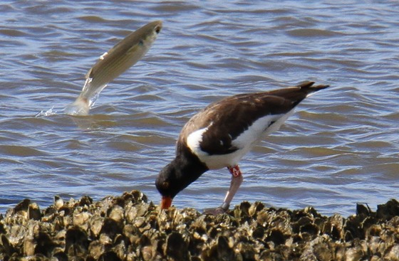 Mullet photo bombing American oystercatcher