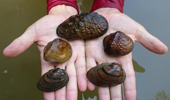 Conasauga mussels