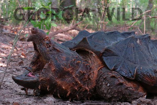 Georgia Wild masthead: alligator snapper. (Credit: Dirk J. Stevenson)