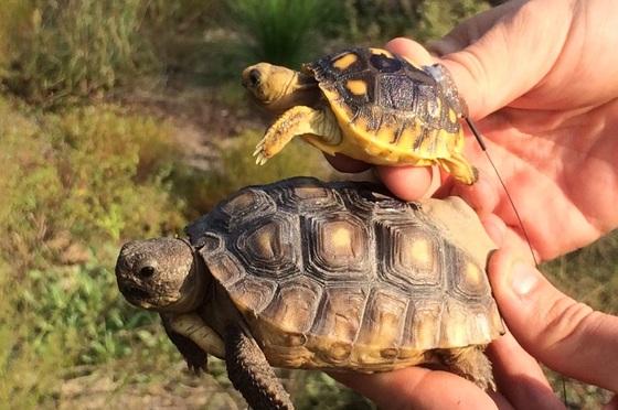 Gopher tortoises released at Yuchi (Tracey Tuberville/SREL)