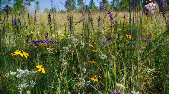 Wildflowers at a Coastal Plain bog