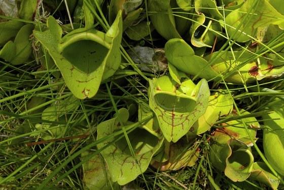 Mountain purple pitcherplant