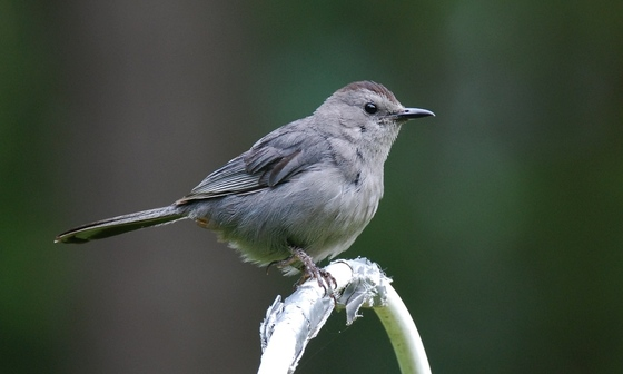 Gray catbird. Terry W. Johnson