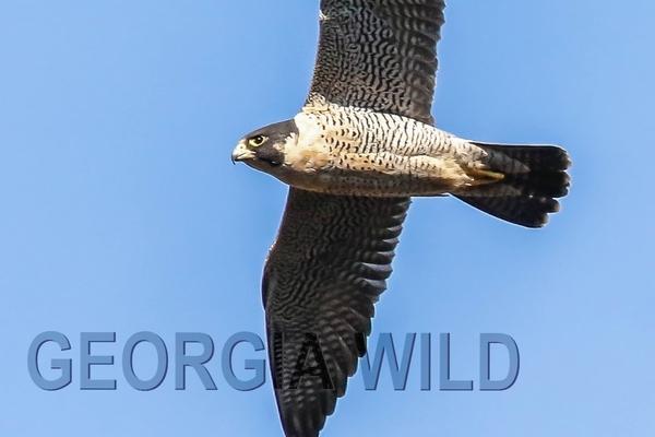 GaWild Masthead: peregrine falcon (Danny Young)