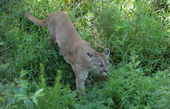 Florida panther (FWC)