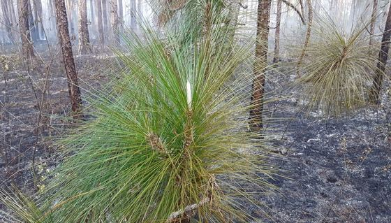 Longleaf after prescribed fire