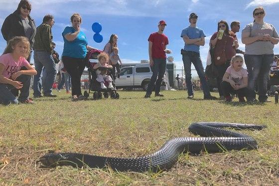 Indigo snake at Claxton festival.