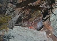 Tallulah Gorge peregrine falcon