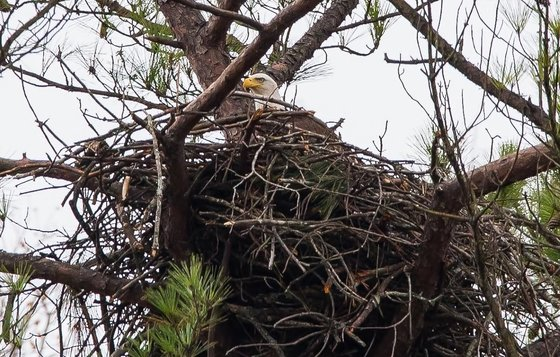 Bald eagle nest (Gena Flanigen/wildlife photographer)
