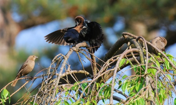 Brown-headed cowbirds (Terry W. Johnson)