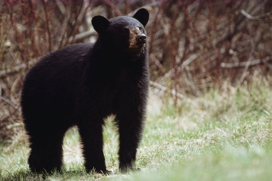 Black bear (DNR)