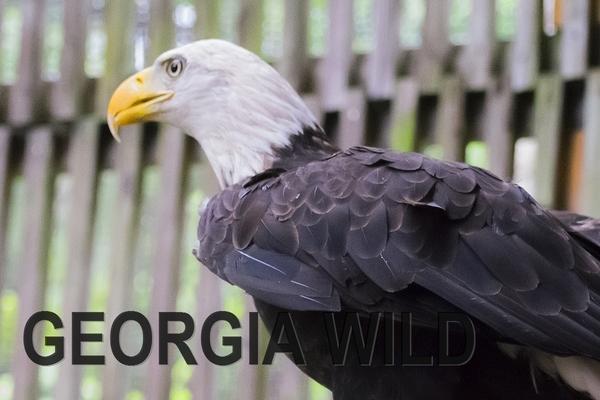 GaWild Masthead: Bald Eagle