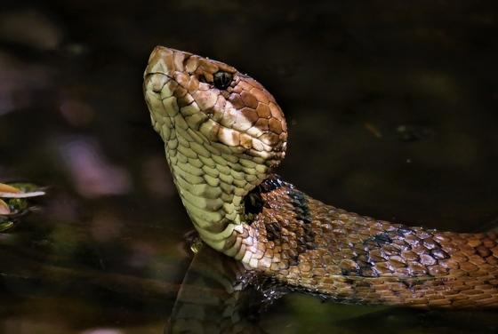 Cottonmouth snake (Matt Moore)