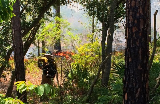 Growing-season burn at Alapaha River WMA