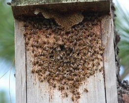 Bees in kestrel box (Ashley Harrington/DNR)