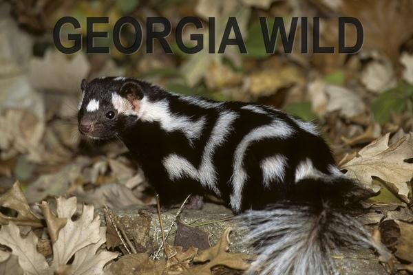 GaWild masthead: eastern spotted skunk (Bob Gress)