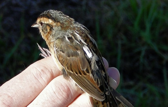 Nanotag on saltmarsh sparrow (Rick Lavender/DNR)