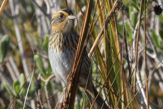 Saltmarsh sparrow (Tim Keyes/DNR)