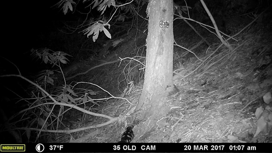 "Eastern spotted skunk at camera ""trap"" (DNR)"