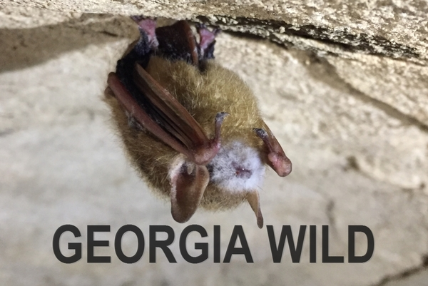 GaWild masthead: tri-colored bat with WNS