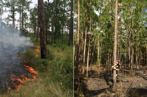 Prescribed fire and longleaf at Broxton Rocks Preserve