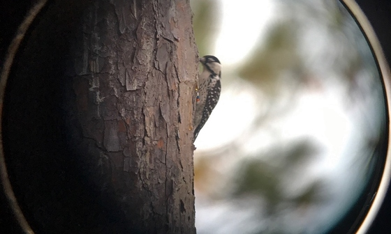 Spotting scope view of red-cockaded woodpecker before translocation