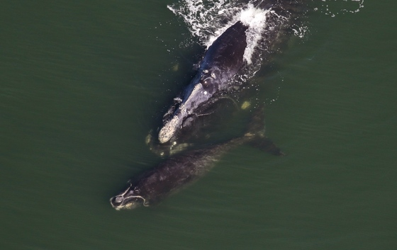 Right whale with calf (Sea to Shore Alliance, NOAA permit 15488-02)