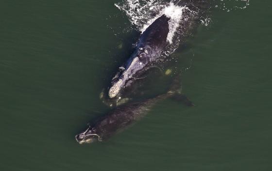 Right whale with calf (Sea to Shore Alliance, NOAA permit 15488-02)