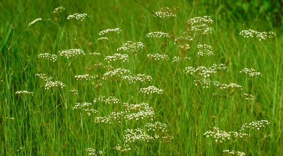 Canby's dropwort flowering (Jim Allison)
