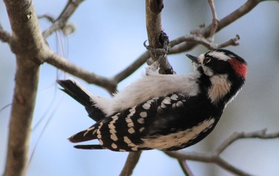 Downy woodpecker (Josiah Lavender)
