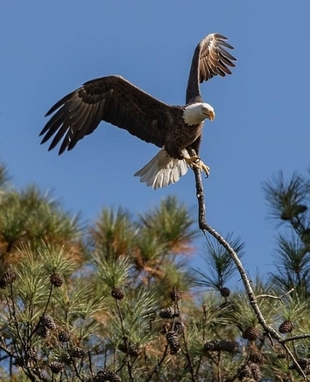 Bald eagle with dead limb (Gena Flanigen)