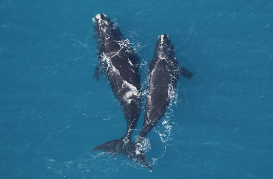 Right whales off Jekyll Island (Sea to Shore Alliance, taken under NOAA research permit 20556)